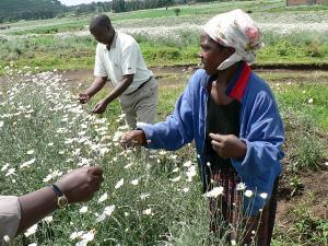 Pyrethrum-crop